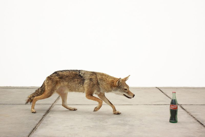 Gabriel Rico, That that is is between s s superior and inferior - The ordinary of God, 2018.Taxidermy coyote, coke with epoxy resin.40 x 60 x 160 cm | 15 3/4 x 23 5/8 x 63 inch.